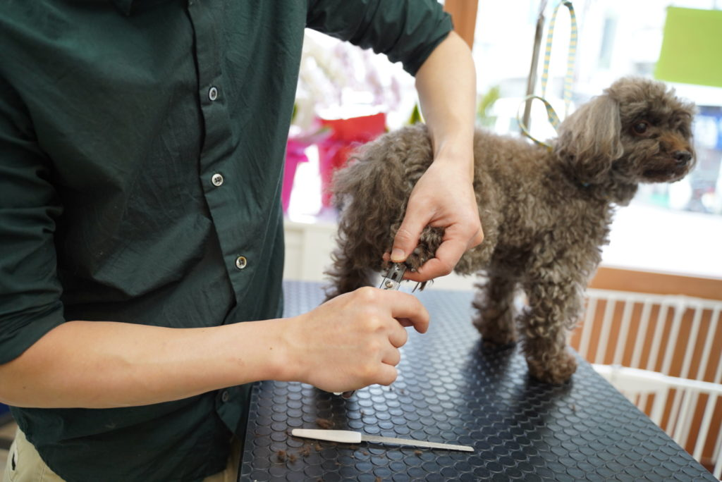 爪切りをされるブラウンのトイプードル